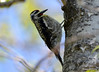 DSC_4478 Yellow-bellied Sapsucker May 14 2015