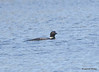 DSC_4787 Common Loon May 18 2015