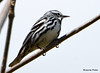 DSC_4302 Black-and-white Warbler May 13 2015