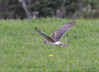 DSC_4836 Northern Harrier May 21 2015