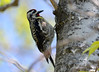 DSC_4477 Yellow-bellied Sapsucker May 14 2015