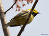 DSC_4675 Black-throated Green Warbler May 15 2015