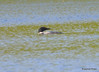 DSC_4792 Common Loon May 18 2015