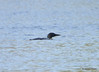 DSC_4785 Common Loon May 18 2015