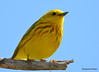 DSC_4558 Yellow Warbler May 14 2015