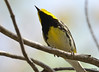 DSC_4682 Black-throated Green Warbler May 15 2015