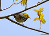 DSC_4683 Black-throated Green Warbler May 15 2015