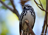 DSC_4298 Black-and-white Warbler May 13 2015