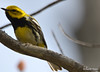 DSC_4680 Black-throated Green Warbler May 15 2015