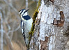 DSC_4643 Yellow-bellied Sapsucker May 14 2015