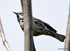 DSC_4305 Black-and-white Warbler May 13 2015