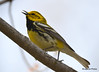 DSC_4679 Black-throated Green Warbler May 15 2015