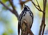 DSC_4299 Black-and-white Warbler May 13 2015