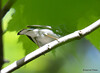 DSC_5133 Black-throated Blue Warbler May 29 2015