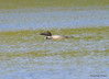 DSC_4793 Common Loon May 18 2015