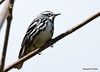 DSC_4303 Black-and-white Warbler May 13 2015