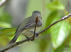 DSC_4775 Red-eyed Vireo May 18 2015