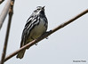 DSC_4304 Black-and-white Warbler May 13 2015