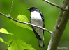 DSC_5131 Black-throated Blue Warbler May 29 2015