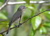 DSC_4772 Red-eyed Vireo May 18 2015