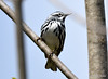 DSC_4301 Black-and-white Warbler May 13 2015