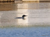 DSC_4799 Common Loon May 18 2015