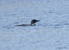 DSC_4786 Common Loon May 18 2015