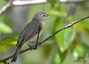 DSC_4771 Red-eyed Vireo May 18 2015