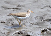 DSC_4285 Spotted Sandpiper May 13 2015