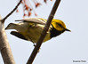DSC_4676 Black-throated Green Warbler May 15 2015