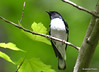 DSC_5130 Black-throated Blue Warbler May 29 2015