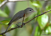 DSC_4773 Red-eyed Vireo May 18 2015