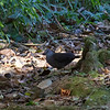 Gray-chested Dove, La Selva