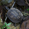 Black Wood Turtle, La Selva
