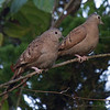 Ruddy Ground Doves, Cascata del Bosco