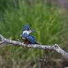 Ring Kingfisher, Rio Tarcoles
