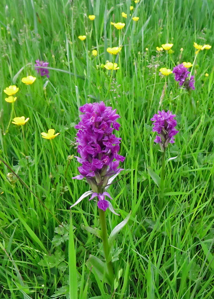 Day 4 - A walk from Elsdon: I don't think we went on a walk without seeing Orchids.