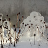 ice on blackeyed susan 2-11-140012