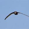 Common Swift (<i>Apus apus</i>) catching an insect