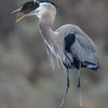 GREAT BLUE HERON having a meal!