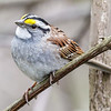 WHITE-THROATED SPARROW<br /> Magee Marsh - Oak Harbor, OH