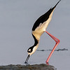 BLACK-NECKED STILT South Padre Island