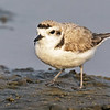 SNOWY PLOVER South Padre Island