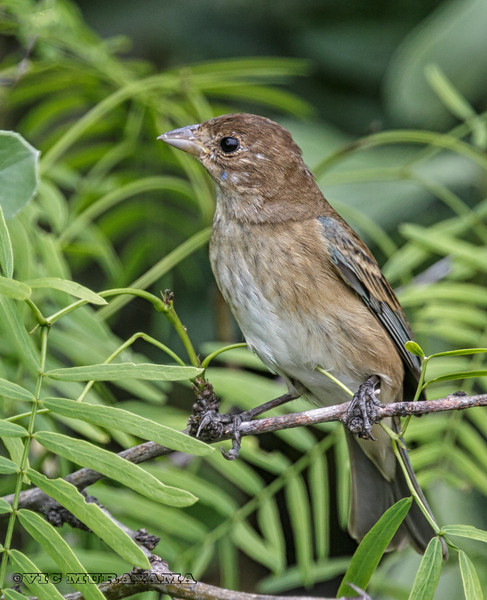 FEMALE BLUE GROSBEAK South Padre Island