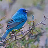 INDIGO BUNTING South Llano River State Park