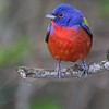 MALE PAINTED BUNTING South Padre Island