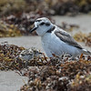 SNOWY PLOVER WITH CHICK Boca Chica State Beach