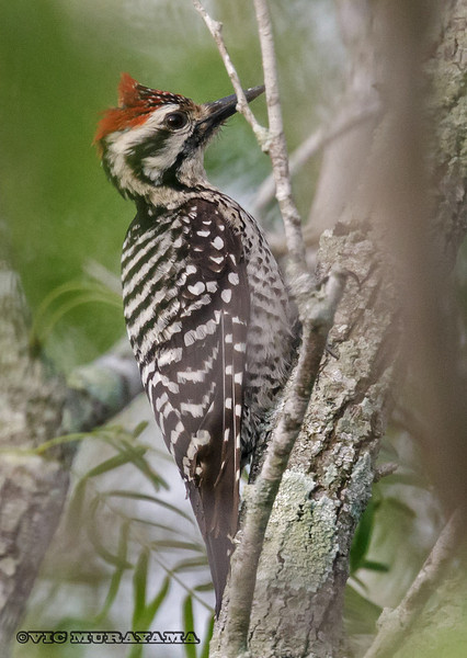 MALE LADDER-BACKED WOODPECKER Laguna Atascosa NWR