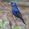 MALE BLUE GROSBEAK South Padre Island