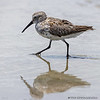 STILT SANDPIPER South Padre Island